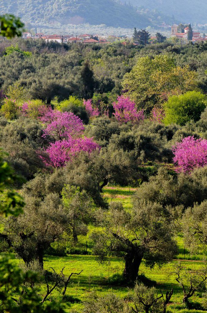 Voorjaar: judas bomen in bloei
