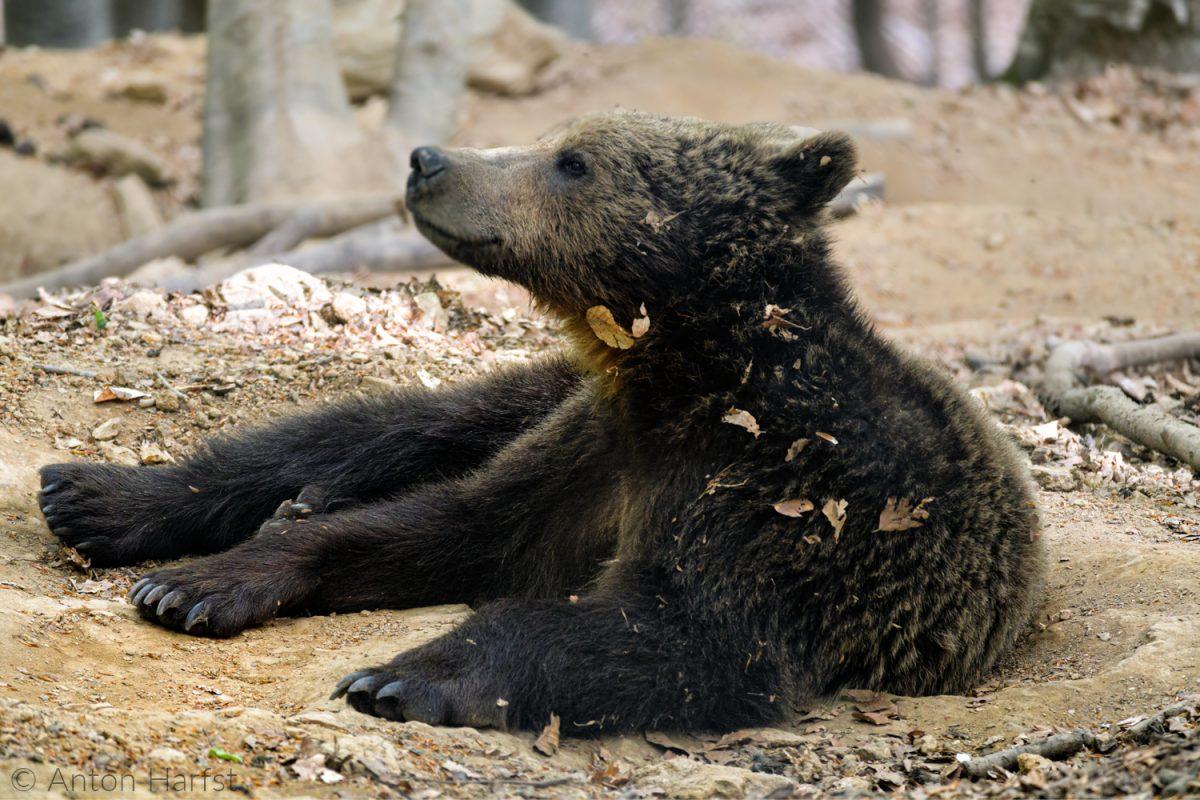 beren fotograferen in Noord-Griekenland