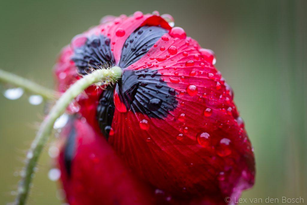 Waterdruppels op anemoon
