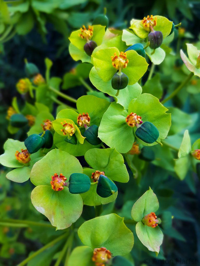 Euphorbia bloeit volop in het voorjaar
