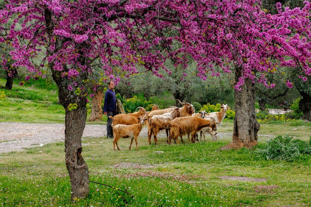 Voorjaar: Judasbomen bloeien tijdens Grieks Pasen