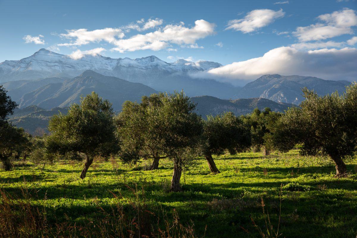 Olijfbomen Griekenland