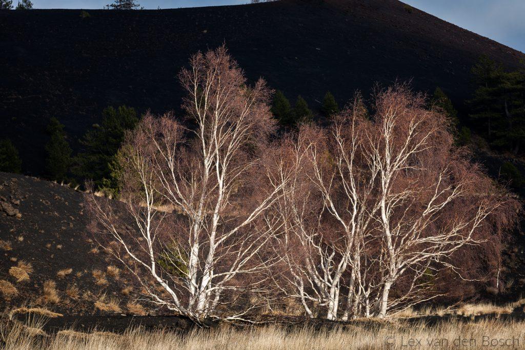 Witte berken steken af op de zwarte Etna vulkaan