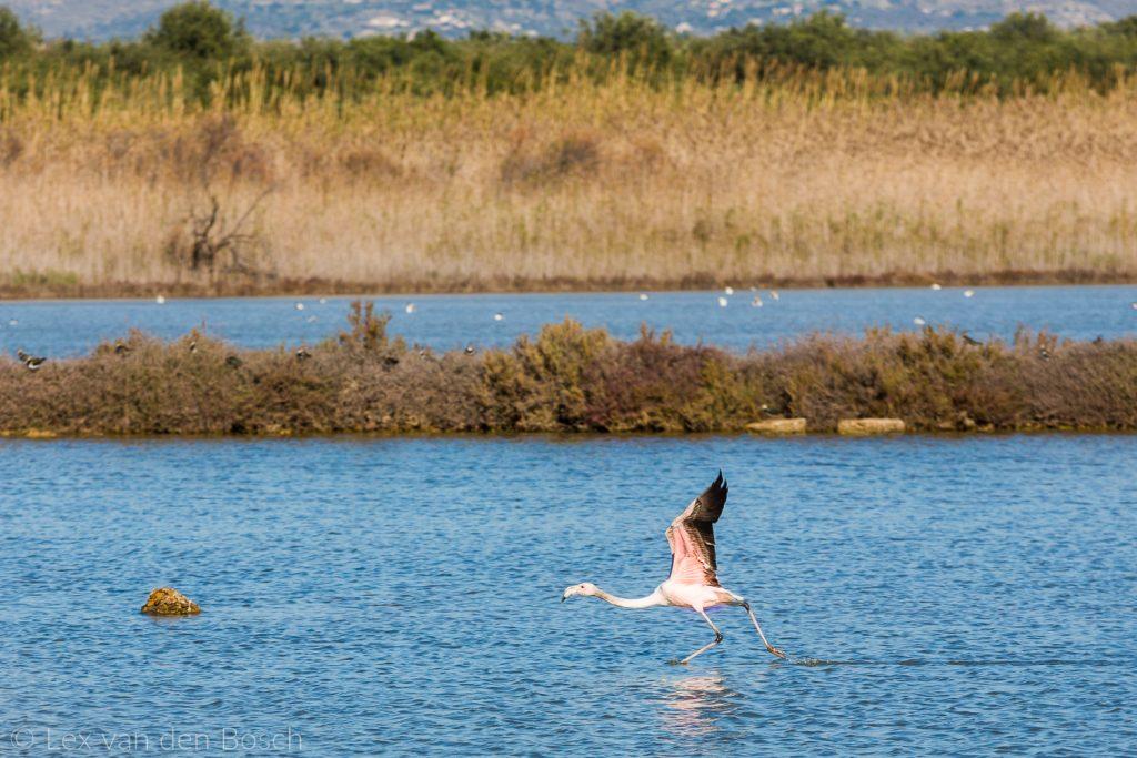 Flamingo's op Sicilië