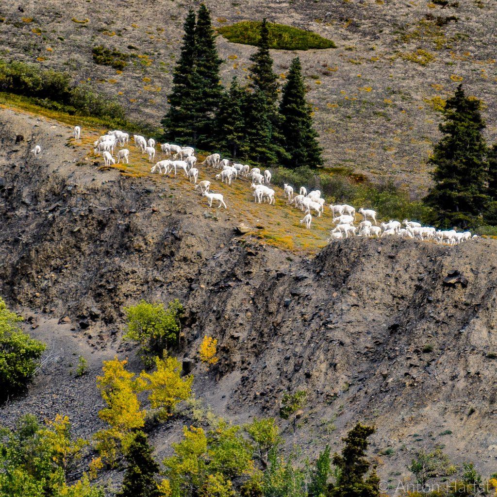 Dall Sheep Yukon