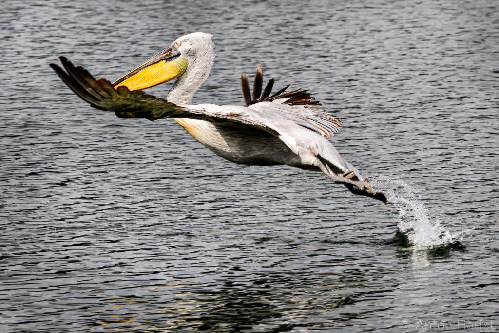 Pelikanen Noord-Griekenland