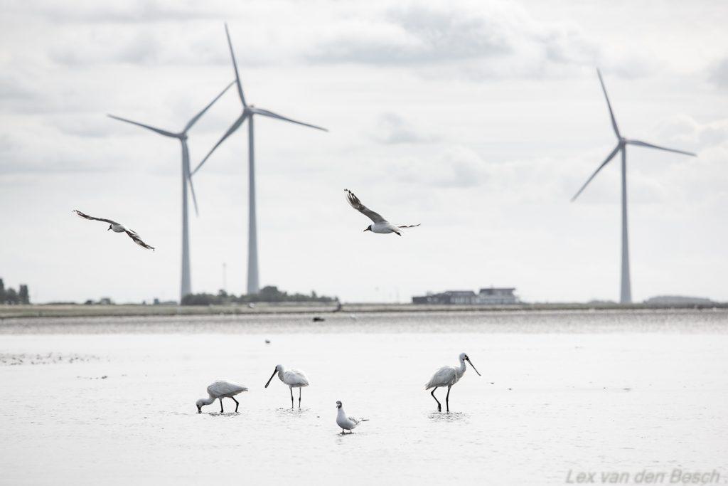 Lepelaars en windmolens langs de Grrevelingendam