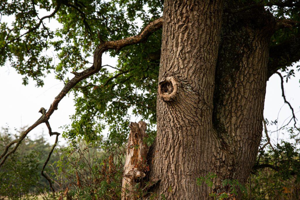 de stam van een eikenboom