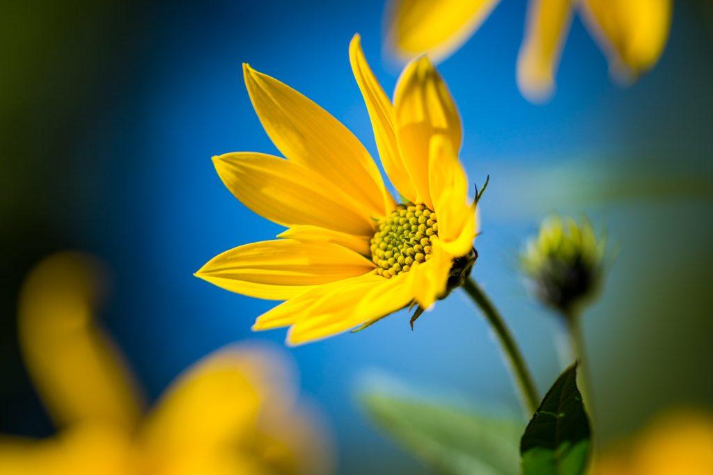 close-up van een gele bloem tegen blauwe achtergrond is een mooi voorbeeld van kleurgebruik