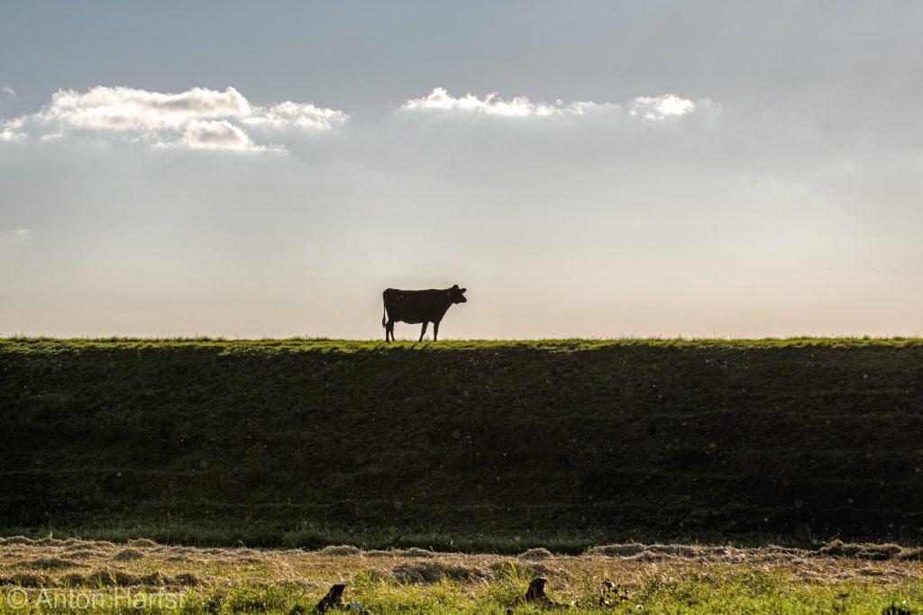 Koe op dijk langs Dollard